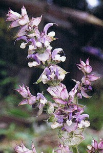 Clary Sage Essential Oil Helps PMS Symptoms